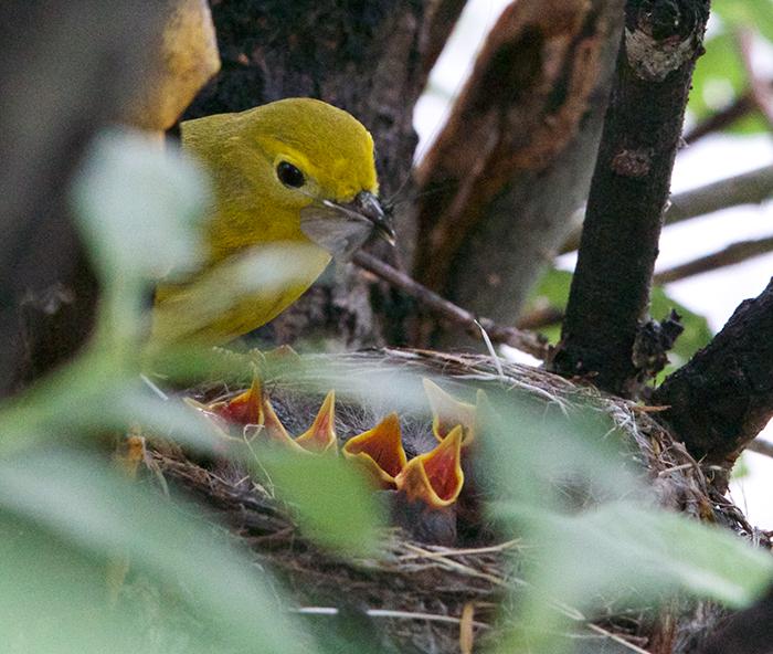 Yellow Warbler feeding chicks, Tangle River, Denali Highway