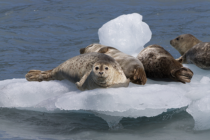 Harbor Seals on  Berg