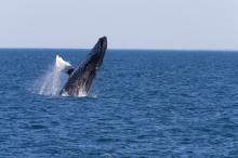 Humpback Whale, Breaching