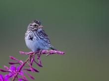 Juvenile Savannah Sparrow, Valdez, Alaska
