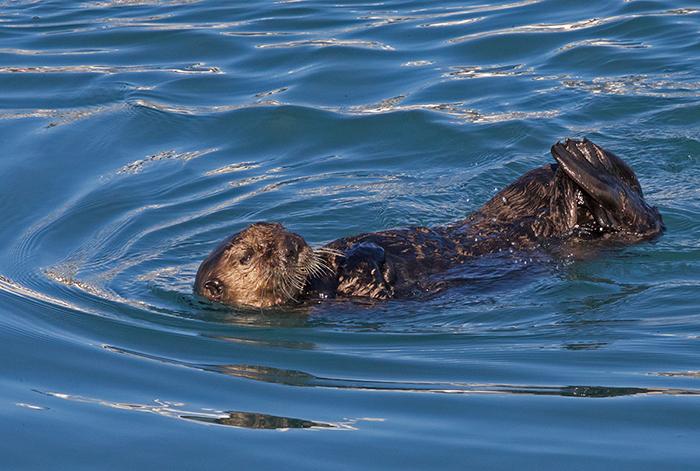 Sea Otter - You Want Cute? We Got Cute