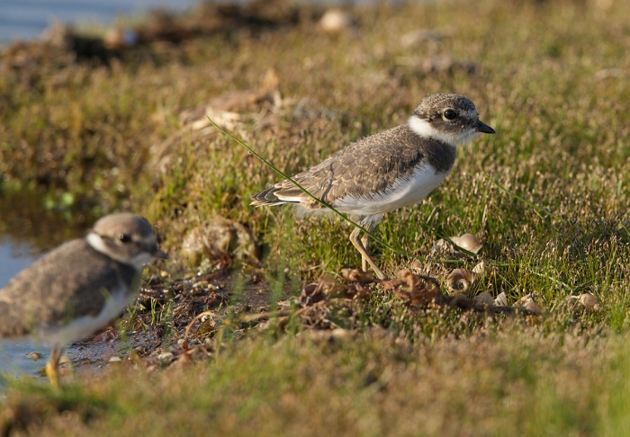 Semipalmated Plover kids, still showing pin feathers