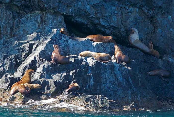 Steller Sea Lion Haul Out