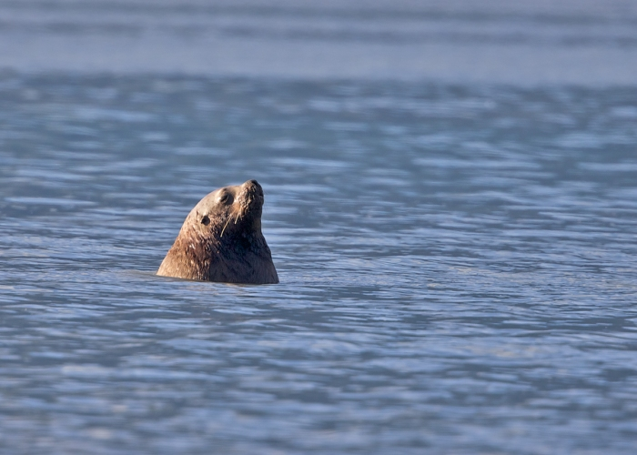 Steller Sea Lion as Bob Float