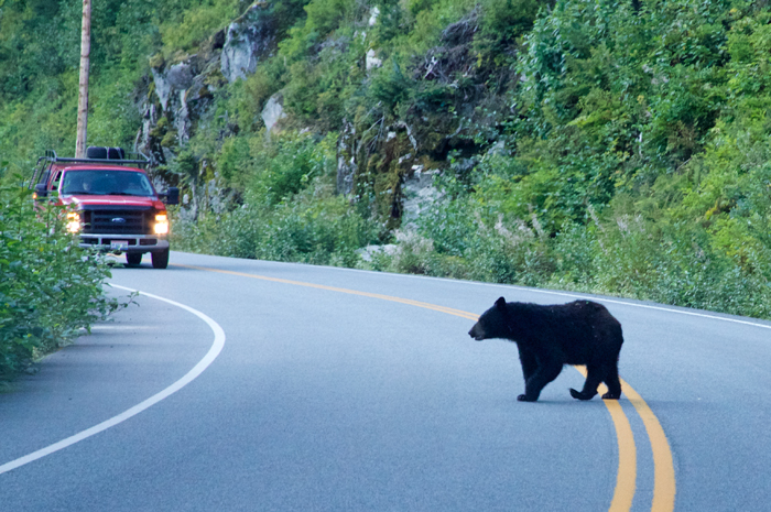 Why did the Black Bear cross the road? Actually, he changed his mind and didn't.