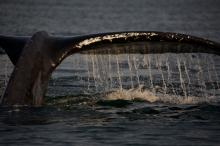 Humpback Whale Sounding