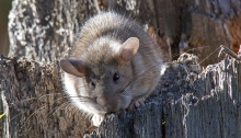 Bushy-tailed Woodrat, Neotoma cinerea
