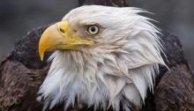 Bald Eagle in the Rain, Cordova, Alaska