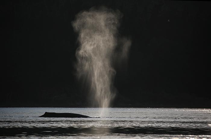 Humpback Whale, Shelter Island, Southeast Alaska