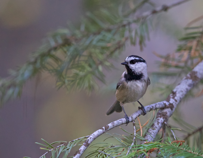Mountain Chickadee, Payette National Forest