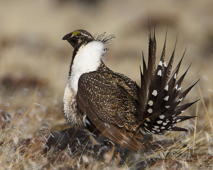 Sage Grouse Male, photo by US Fish & Wildlife Service