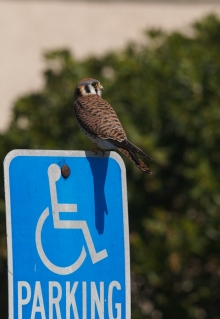 American Kestrel violating parking ordinances, LaJolla, California