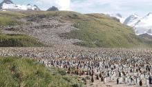 King Penguin colony, Salisbury Plain, South Georgia Island
