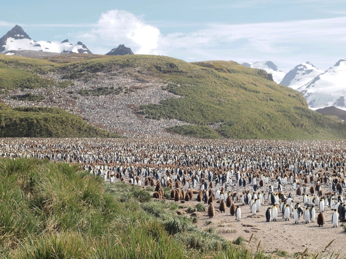 King Penguin colony, Salisbury Plain, South Georgia Island