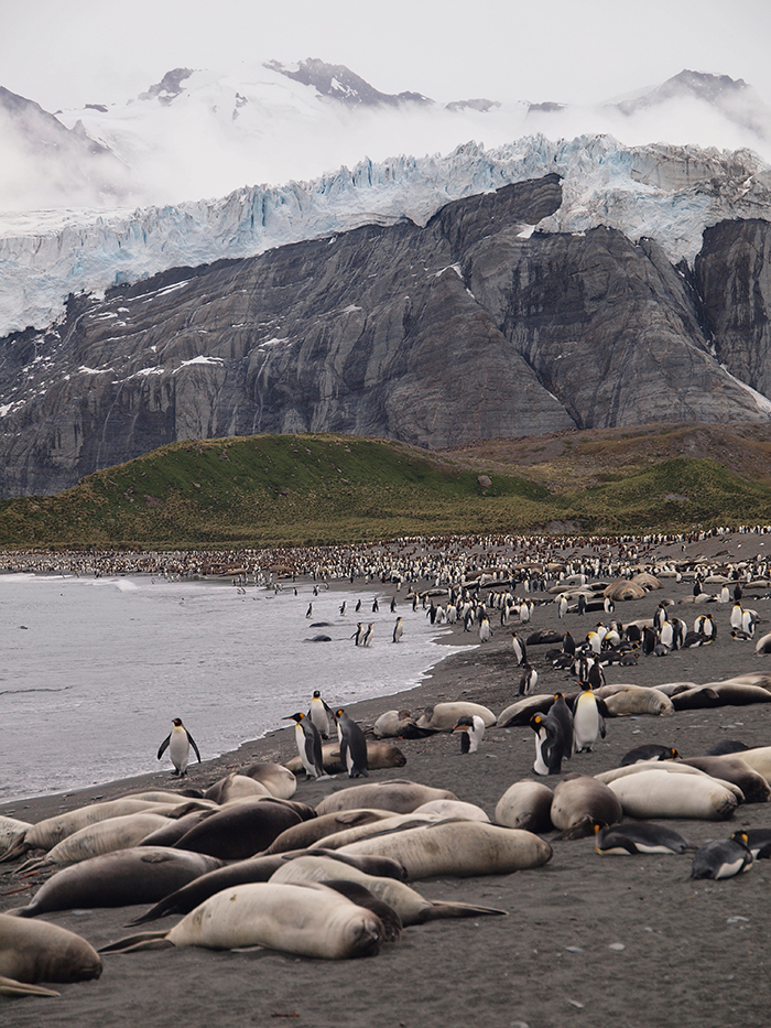 Elephant, Crabeater, and Southern Fur Seals, Gold Harbor, South Georgia Island