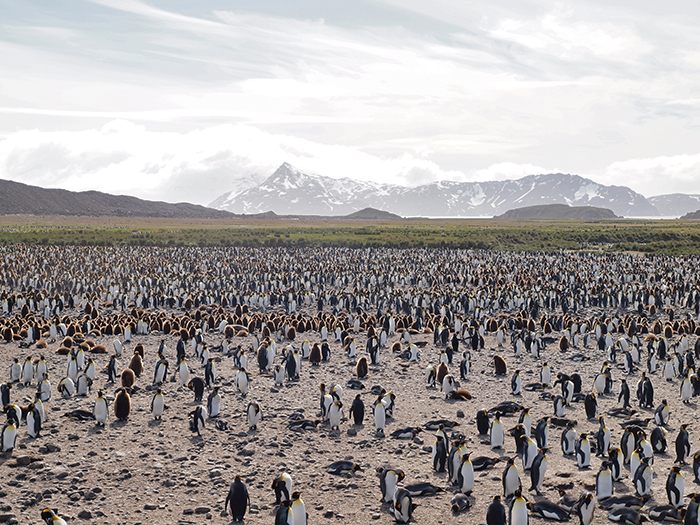 Mixed colony Gentoo and King Penguins, Salisbury Plain, South Georgia Island