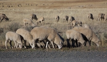 Sheep grazing along West Mountain Road, Valley County, Idaho