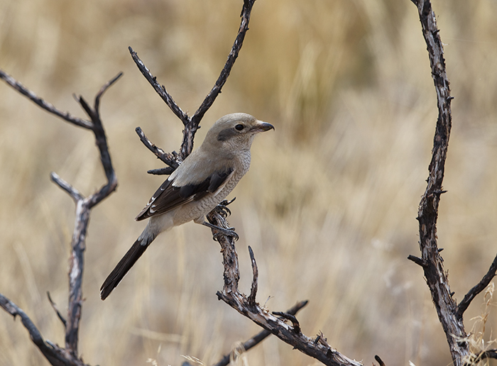 Juvenile Northern Shrike