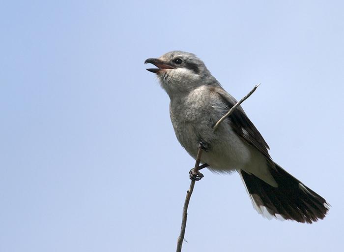 Northern Shrike Adult, Denali Highway