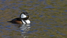 Hooded Merganser Drake, Hiatt Hidden Lakes Nature Preserve