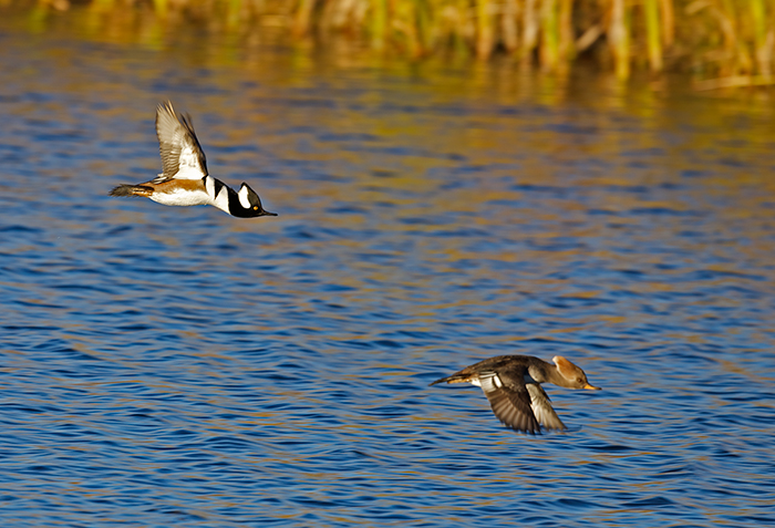 Hooded Merganser Drake and Hen in Flight, Hiatt Hidden Ponds NaturePreserve