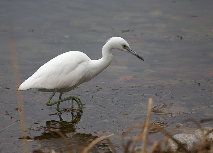 Little Blue Heron, Classic Hunting Pose