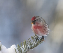 Common Redpoll, Fairbanks, Alaska, Christmas 2014