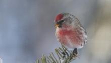 Common Redpoll, Fairbanks, Alaska, Christmas 2014
