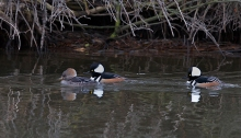 Hooded Mergansers, December 2015, Boise, Idaho