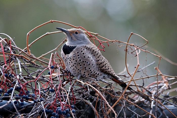 Female Northern Flicker on Virginia Creeper brambles