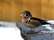 Wood Duck, Yard Bird of the Month