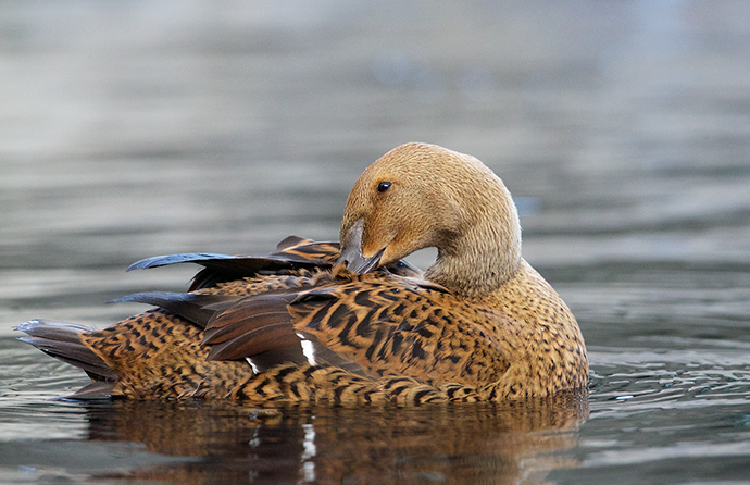 King Eider Hen, Resurrection Bay, Alaska