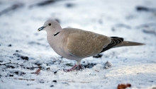 Eurasian Collared-Dove, Boise, Idaho January 2016