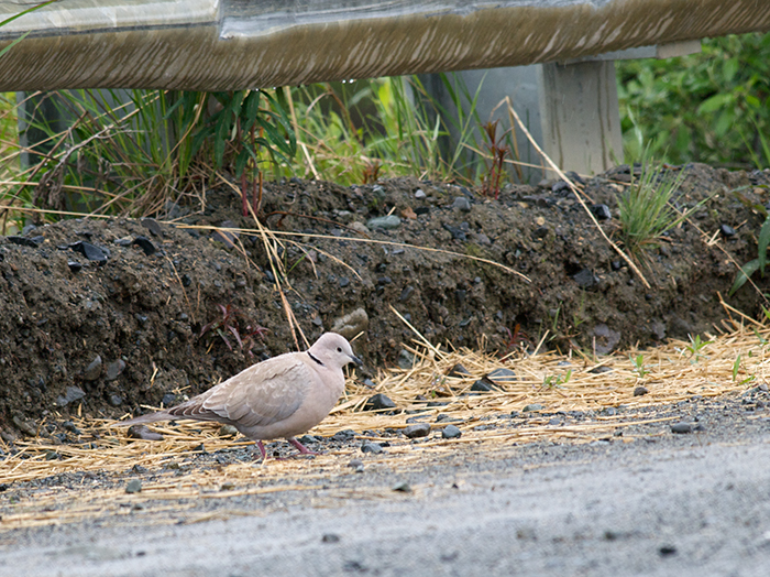 Eurasian Collared-Dove, Maclaren River, June 2009