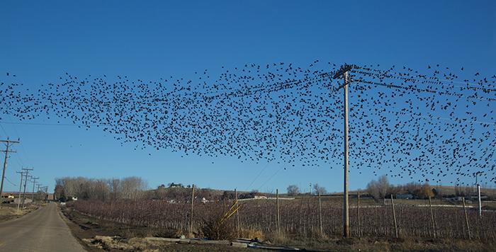 Eurasian Starlings, Homedale, Idaho, January 9