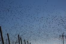 Euraisan Starlings, Homedale, Idaho, January 9