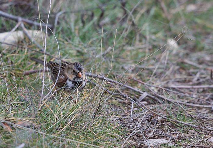 Harris's Sparrow, Hyatt Hidden Lakes Reserve, Boide