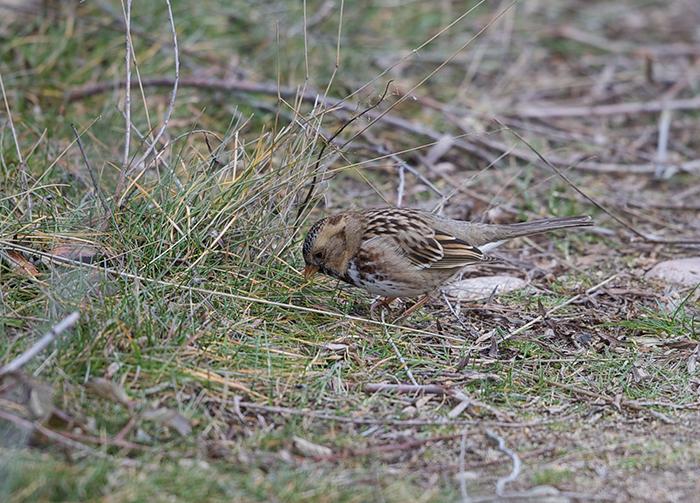 Harris's Sparrow, Hyatt Hidden Lakes Reserve, Boise