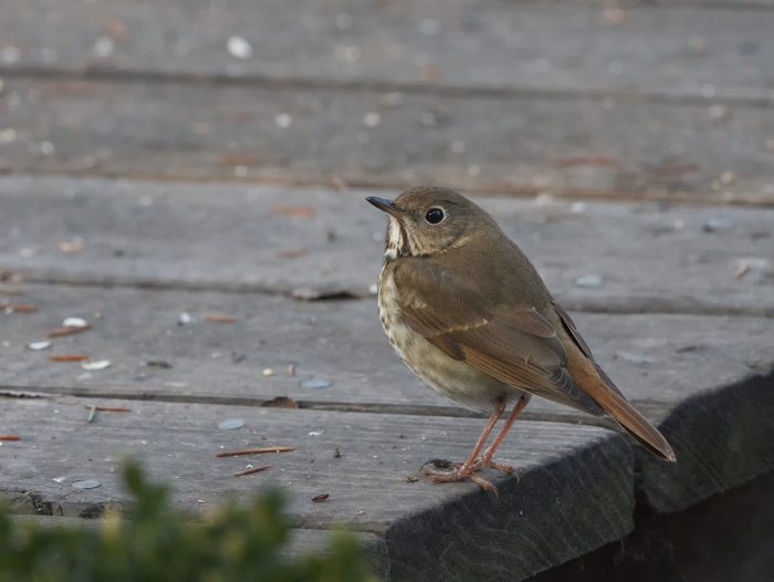 Hermit Thrush, Boise, Idaho, January 8