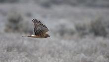 Northern Harrier, Swan Falls, Snake River Canyon