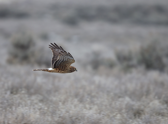 Northern Harrier, Swan Falls, Snake River Canyon