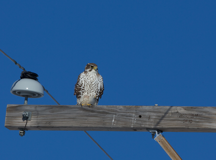 Prairie Falcon, Simco Road, Idaho