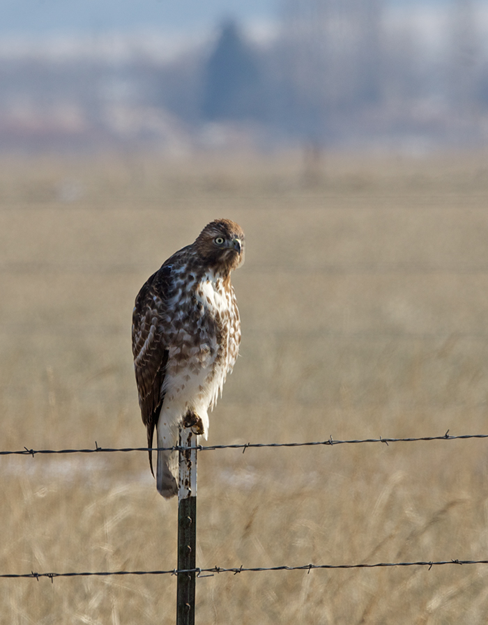 Red-tailed Hawk, Simco Road, Idaho