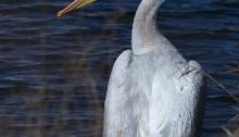 American White Pelican, Swan Falls, Snake River, Idaho