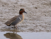 Green-winged Teal, Creamer's Field, Fairbanks