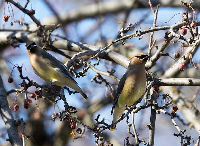 Cedar Waxwings in a Crab Apple Tree