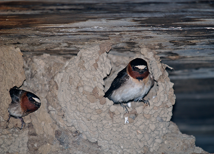 Cliff Swallows at Nests, Creamer's Refuge