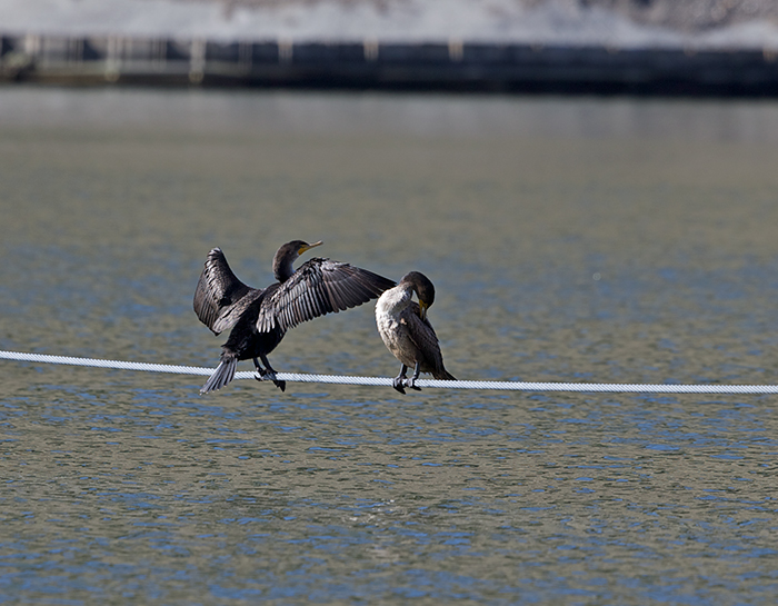 Double-creasted Cormorants on Buoy Mooring Rope, Sawn Falls Dam