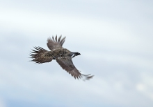 Great Sage-Grouse Tom in flight
