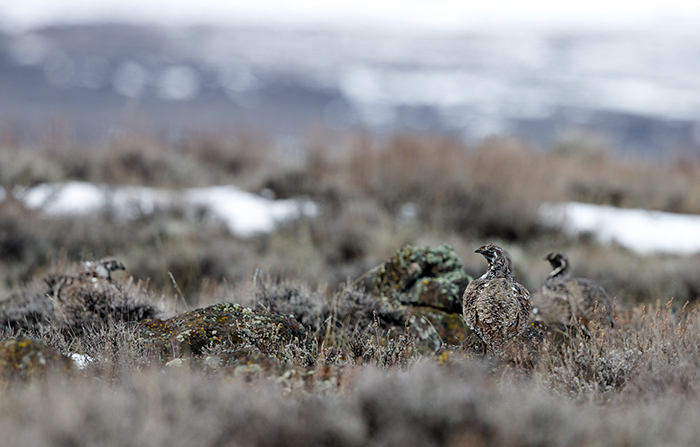 Great Sage-Grouse Hen – how many birds can you find
